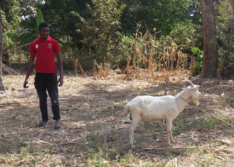 Handsome billy goat cleans up the cornfield in Mchewe, Mbeya, Tanzania