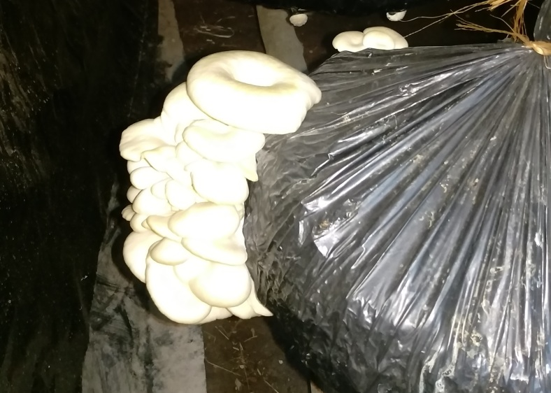 One of the Women's Groups in is growing oyster mushrooms in Mchewe Village, Mbeya, Tanzania