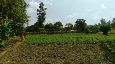 Tomato plot in Mchewe Village, Mbeya, Tanzania. After learning more about contracts and contract farming, the farmers re more confident about using this tool for a guaranteed sale.