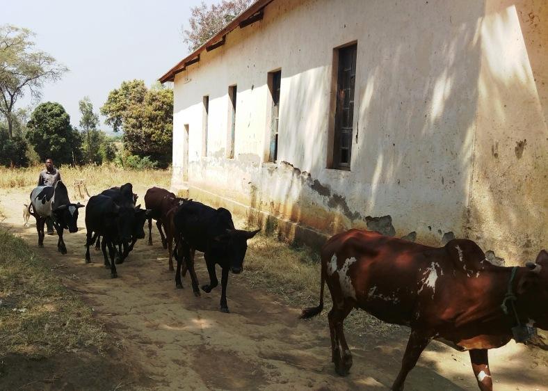 Zebu Cattle in Mchewe Village, Mbeya, Tanzania.