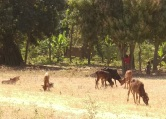 Zebu calves and the young cowboys in Itimba Village, Mbeya, Tanzania