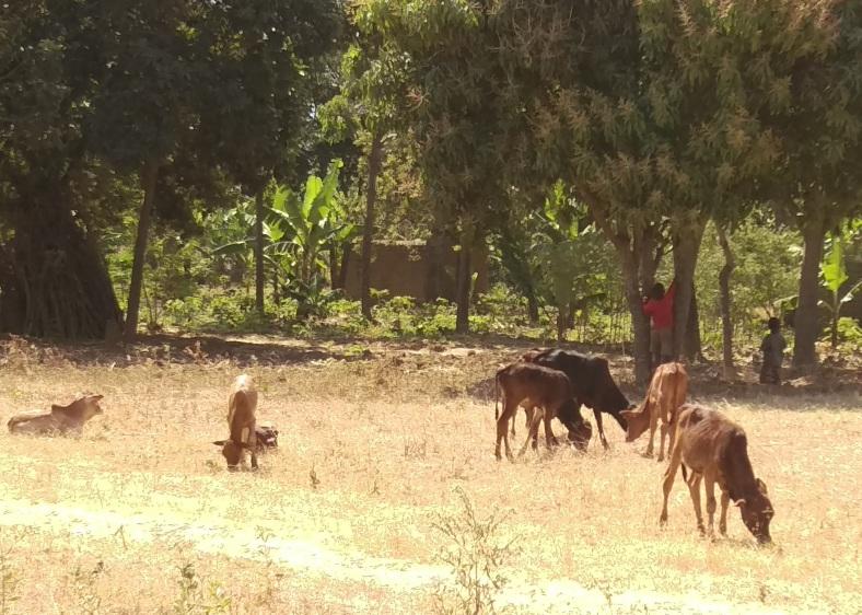 Zebu calves and the young cowboys in Itimba Village, Mbeya, Tanzania