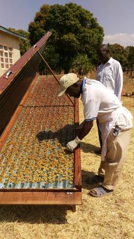 Value added! Bananas in the solar dryer. Itimba Village, Mbeya, Tanzania