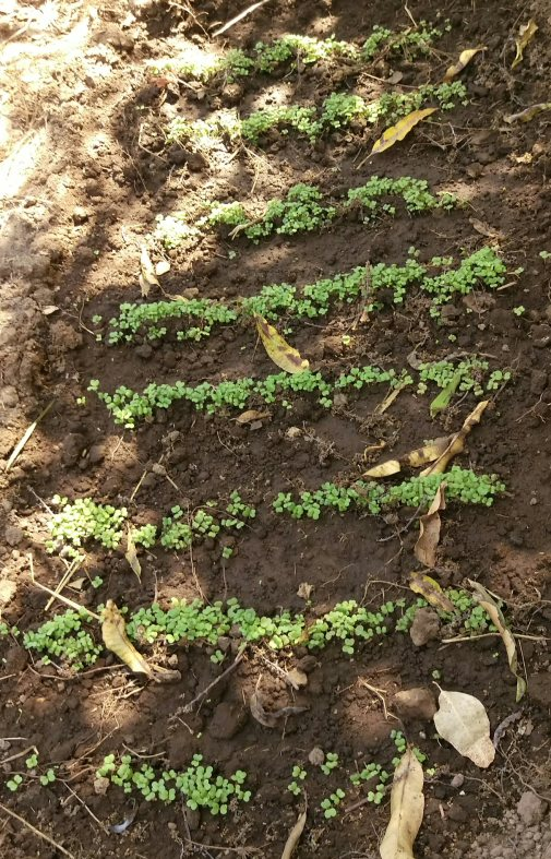 Chinese cabbage planted in the dry season and irrigated, will fetch a good price. Muvwa Village, Mbeya, Tanzania